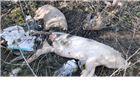 Lešine svinja na zaštićenom slatinskom vodocrpilištu