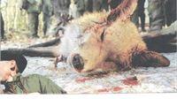 AWAP-ovo pismo gradonačelniku Virovitice, medijima, građanstvu u vezi planiranog lova na lisice