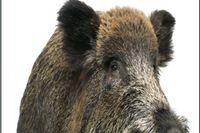 Uhvaćen kako u autu prevozi odrubljenu glavu divlje svinje