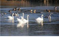 Jato labudova naselilo jezero Javoricu + Fotogalerija