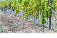 Vinograde treba iskrčiti: Hrvatska se već devet godina bori sa zlatnom žuticom vinove loze