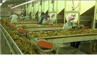 HRT Video: Europi nedostaje kvalitetnog duhana, a naši proizvođači u gubicima