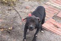 Veterinarska inspekcija: Psi iz Bistrice su bili zanemarivani, ali nisu utvrđeni dokazi koji bi upućivali da su se upotrebljavali u borbama  pasa