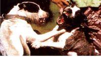 Borba pasa u virovitčkoj okolici - policija nastavlja istragu