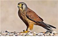 Muškarac u Pitomači zamkom ulovio zaštićenu pticu Vjetrušu