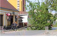 Srušeno osam zdravih stabala gledičije u Bečkoj. Navodno rade štete nogostupu i kolniku. Građani ogorčeni!