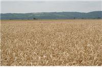 Zrno pred klijanjem, prvi prinosi žita razočarali