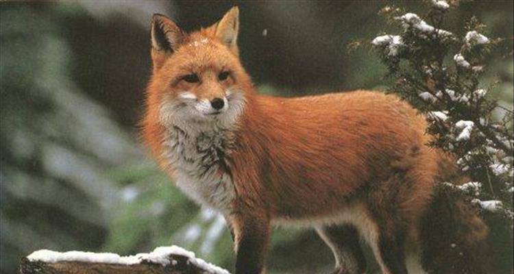 Glas �ivotinja zbog lisica na viroviti�kim ulicama: London je pun lisica pa ih nitko ne ubija