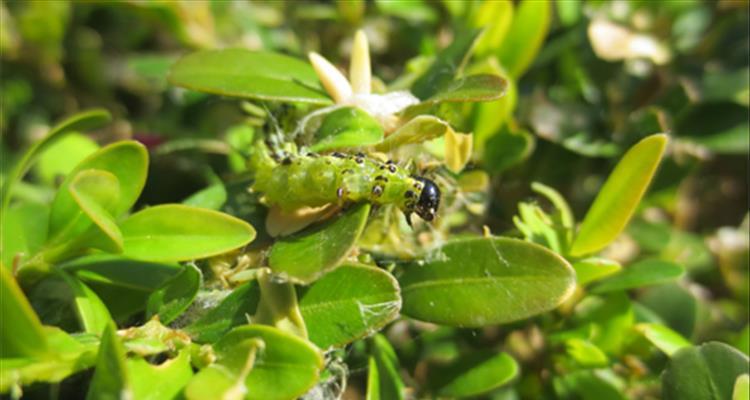 Obavijest o pojavi druge generacije gusjenica šimširovog moljca