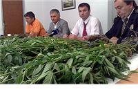 Uhitili ga dok je u polju brao 240 stabljika marihuane