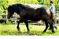 Konj Vranko težak 600 kilograma 'poklopio' jahača