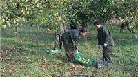 Gradska uprava i djelatnici javnih radova u berbi jabuka