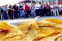 Seljačkim duhanskim farmerima u petak isplaćeno 43,6 milijuna kuna