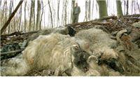 Policija u potrazi za ovčarom koji je u šumu bacio 15 strvina