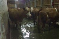SOS za farmu krava u Suhopolju