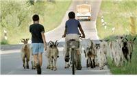 Koze opasne i za vozače na cesti, nedavno pregaženo njih 17