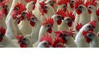 Natječaj za potporu kapitalnim ulaganjima za rekonstrukciju farmi za proizvodnju jaja