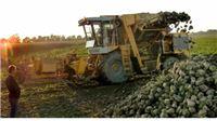 Šećerana Viro zbog kiše prepolovila dnevnu proizvodnju