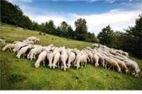 Gušio mladića jer mu je tjerao ovce preko imanja