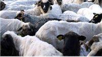 Tvrtka Kristan Nautika od ovčara Virovitičko-podravske županije najavila otkup 40 tona vune