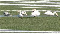 Jato umornih labudova u polju pšenice