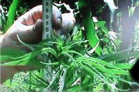 U Špišić Bukovici pronađena stabljika cannabis sative visine oko dva metra