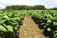 Zbog suše bi urod duhana mogao biti manji i do 18 posto