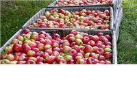 Ukradeno nekoliko tona jabuka