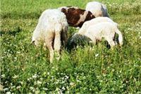 Ukradene bređe ovce