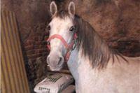 Javio se gazda izgubljenog konja, pastuh vraćen u Špišić Bukovicu