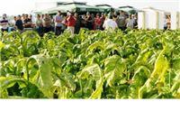 Uz Dan proizvođača duhana: proizvođači očekuju zaštitu i očuvanje proizvodnje duhana