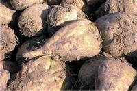 Za tonu repe u 2013. otkupna cijena 340 kuna