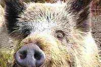 Odstrijeljena divlja svinja