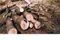 U Šumariji Suhopolje ukradena stabla bagrema