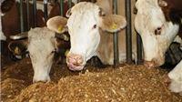 Stočari pozdravljaju odluku da se poticaji daju i za krave križane pasmine