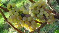 Natječaj za vinare i vinogradare