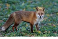 Odstrjel lisica u Ulici Franje Fujsa i naselju Podgorje