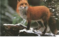 Glas životinja zbog lisica na virovitičkim ulicama: London je pun lisica pa ih nitko ne ubija