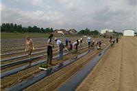 Pokrenuta proizvodnja batata u Čačincima