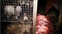 Novi dokaz okrutnosti industrije proizvodnje krzna - šokantni prizori ubijanja životinja u Poljskoj