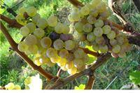Uskoro novi natječaji za vinare i vinogradare iz europske Vinske omotnice