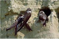 Na Muri, Dravi i Dunavu potvrđen dugoročni trend opadanja broja riječnih ptica