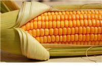 Europska komisija planira odobriti uzgoj tri GM kukuruza,  teritorij Hrvatske izuzet