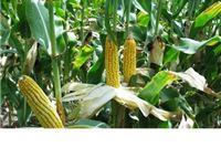 Cijene kukuruza konačno napravile snažan zaokret i porasle nakon tri mjeseca