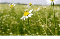 Kamilica je na poljima Virovitičko-podravske trenutno u dobrom stanju, za dvadesetak dana prve berbe