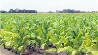Belgijci zainteresirani za otkup hrvatskog duhana