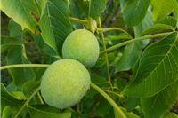 Prodajem zelene orahe: Lijek za štitnjaču, dobru krvnu sliku i pomlađivanje, a napose za orahovac