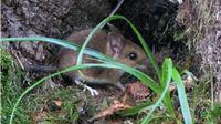 Mišja groznica u zamahu. U kratkom roku čak 200 oboljelih, najviše je slučajeva s područja oko Orahovice