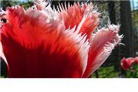 Fotogalerija: Žuta magnolija i šareni tulipani u Mirkovom cvjetnom vrtu