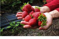 Pročitajte u kojim trgovačkim lancima možete kupiti domaće jagode